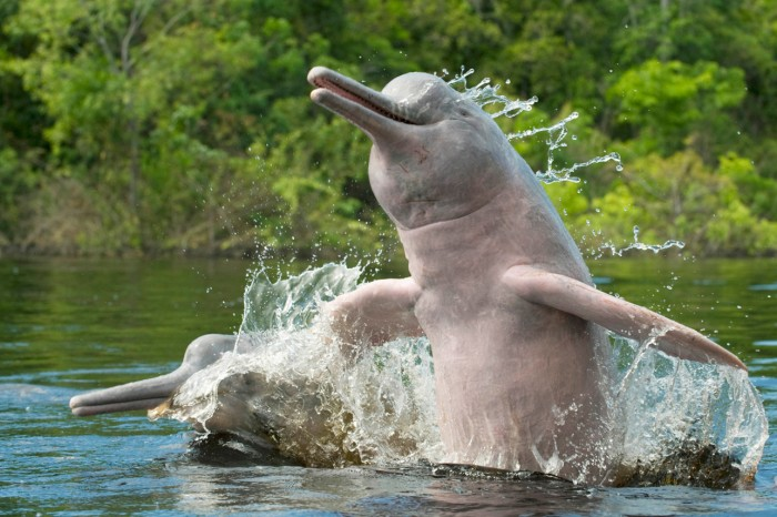 brazil-river-dolphin