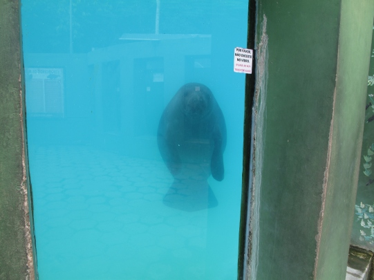 There are manatees in the river, but seldom seen. Photo taken at INPA, a science center.