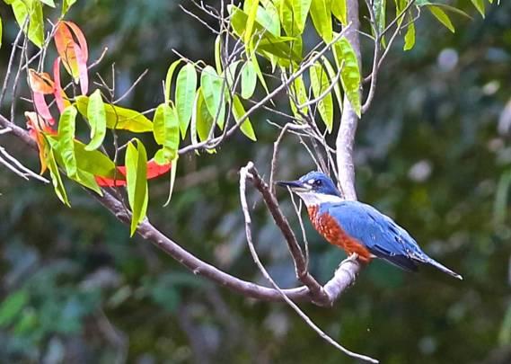 Kingfisher (photo by Jerry Peek).