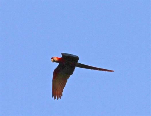 Macaw (photo by Jerry Peek).