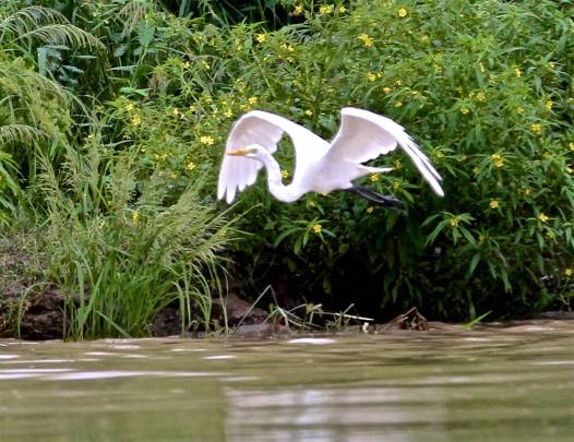 Egret taking flight (photo by Jerry Peek).