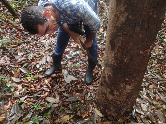 Edgi showing us a rubber tree.