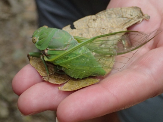 Cicada sighting.